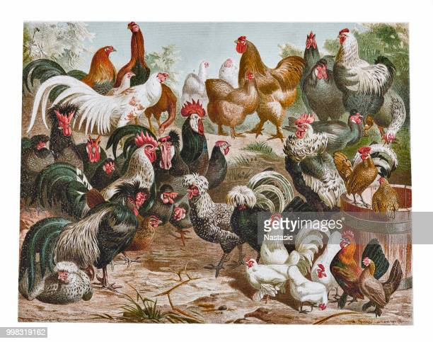 chicken poultry - enclosure stock illustrations