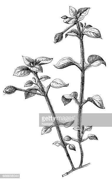 chickweed (stellaria mediachi) - chickweed stock illustrations, clip art, cartoons, & icons