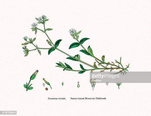 chickweed plant - chickweed stock illustrations, clip art, cartoons, & icons