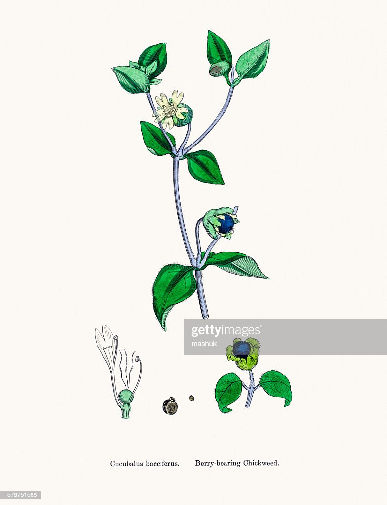 Chickweed plant : stock illustration