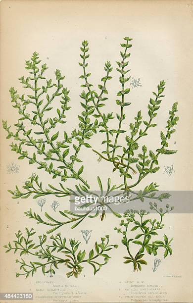 chickweed, strapwort and knotgrass, victorian botanical illustration - chickweed stock illustrations, clip art, cartoons, & icons