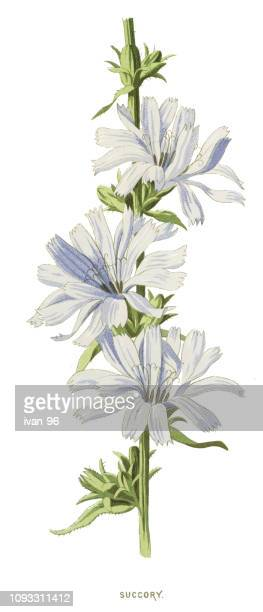 chicory - endive stock illustrations, clip art, cartoons, & icons