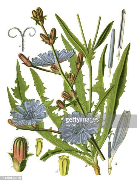 chicory, succory - chicory stock illustrations, clip art, cartoons, & icons