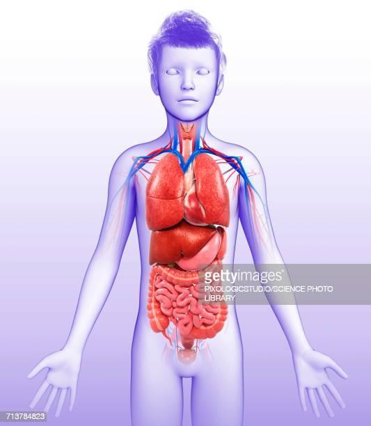 childs body organs, illustration - human small intestine stock illustrations