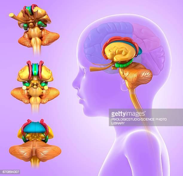 childs brain anatomy, illustration - basal ganglia stock illustrations, clip art, cartoons, & icons