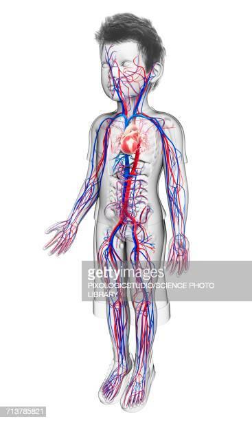 ilustraciones, imágenes clip art, dibujos animados e iconos de stock de childs cardiovascular system, illustration - sistema circulatorio