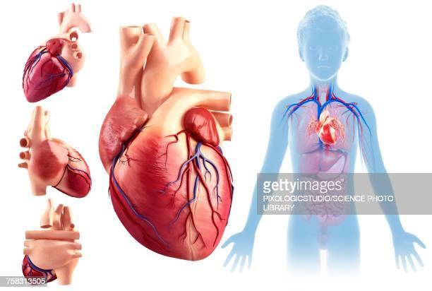 childs heart anatomy, illustration - human heart stock illustrations