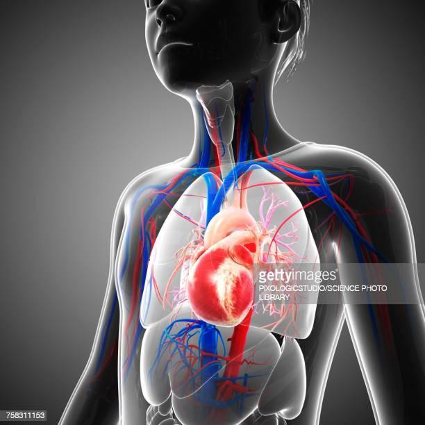 ilustraciones, imágenes clip art, dibujos animados e iconos de stock de childs heart, illustration - sistema circulatorio