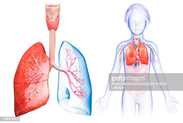 Childs lung anatomy, illustration
