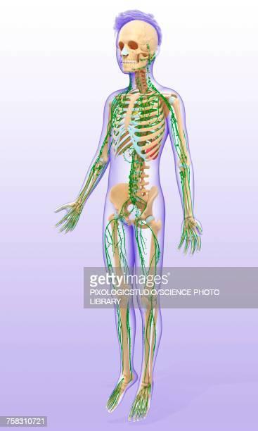 ilustraciones, imágenes clip art, dibujos animados e iconos de stock de childs lymphatic systems, illustration - sistema inmune humano