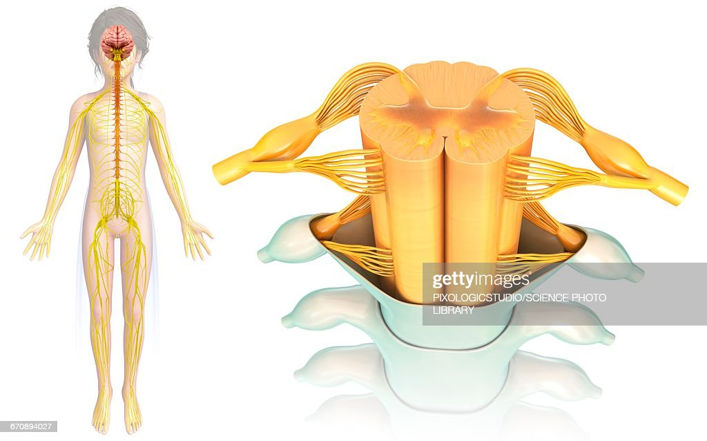 Childs Spinal Cord Crosssection Stock Illustration Getty Images