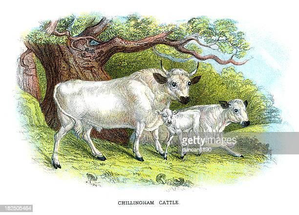 chillingham cattle - northumberland stock illustrations, clip art, cartoons, & icons