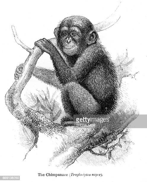 chimpanzee engraving 1878 - chimpanzee stock illustrations, clip art, cartoons, & icons