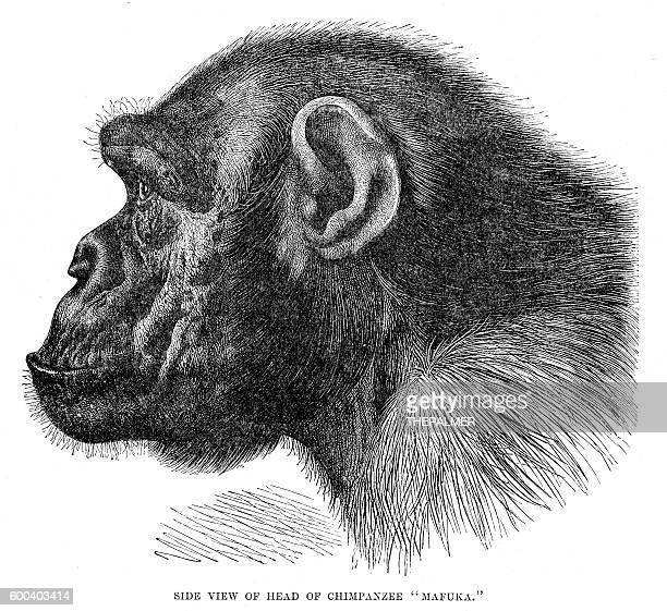 stockillustraties, clipart, cartoons en iconen met chimpanzee engraving 1894 - chimpanzee