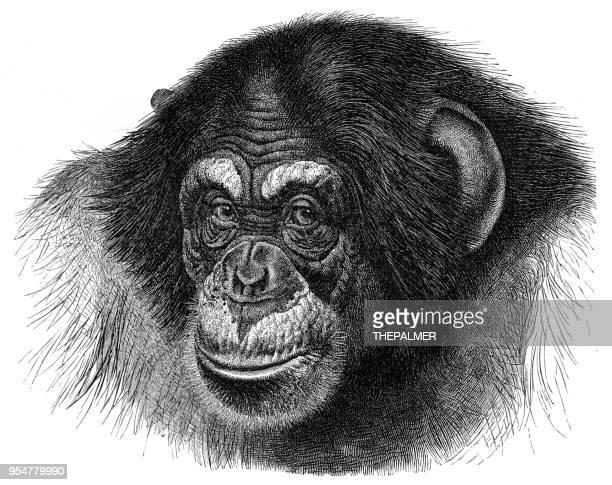 chimpanzee engraving 1894 - chimpanzee stock illustrations, clip art, cartoons, & icons