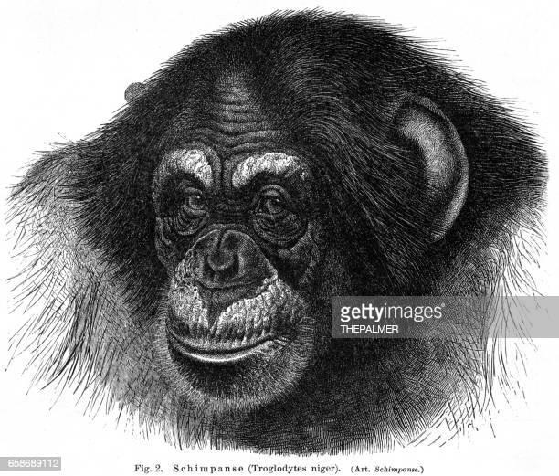 chimpanzee engraving 1895 - chimpanzee stock illustrations, clip art, cartoons, & icons