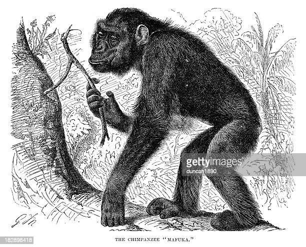 stockillustraties, clipart, cartoons en iconen met chimpanzee - chimpanzee