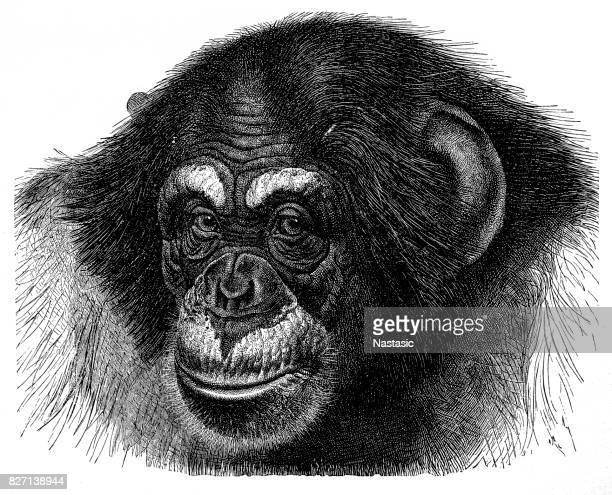stockillustraties, clipart, cartoons en iconen met chimpansee (pan troglodytes) - chimpanzee