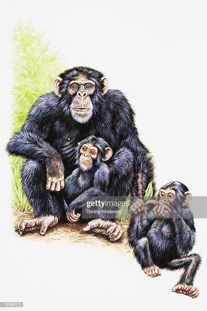 Chimpanzee, mother and two young : stock illustration