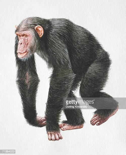Chimpanzee, Pan troglodytes, walking on all fours, front view.