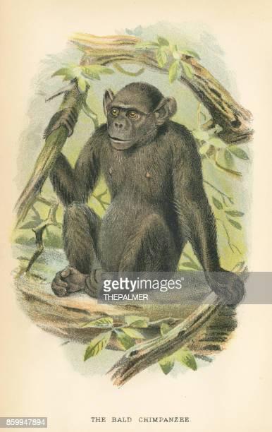 chimpanzee primate 1894 - chimpanzee stock illustrations, clip art, cartoons, & icons