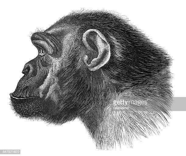 stockillustraties, clipart, cartoons en iconen met chimpanzee tschego portrait engraving 1880 - chimpanzee