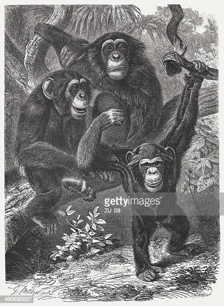 chimpanzees (pan), wood engraving, published in 1876 - chimpanzee stock illustrations, clip art, cartoons, & icons