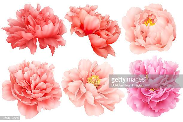 Chinese national flower peony