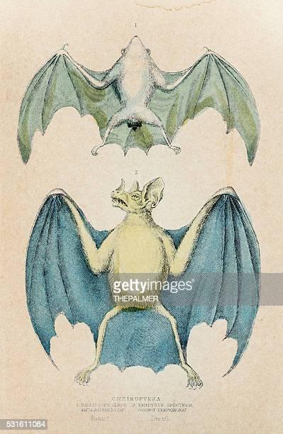 Chiroptera bat engraving 1855
