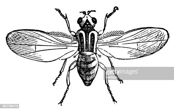 chlorops taeniopus (the gout fly of barley) - bot fly stock illustrations