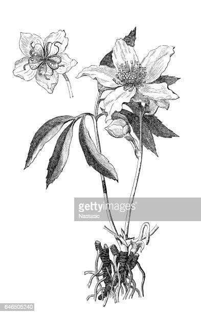 Christmas rose, black hellebore (Helleborus niger)