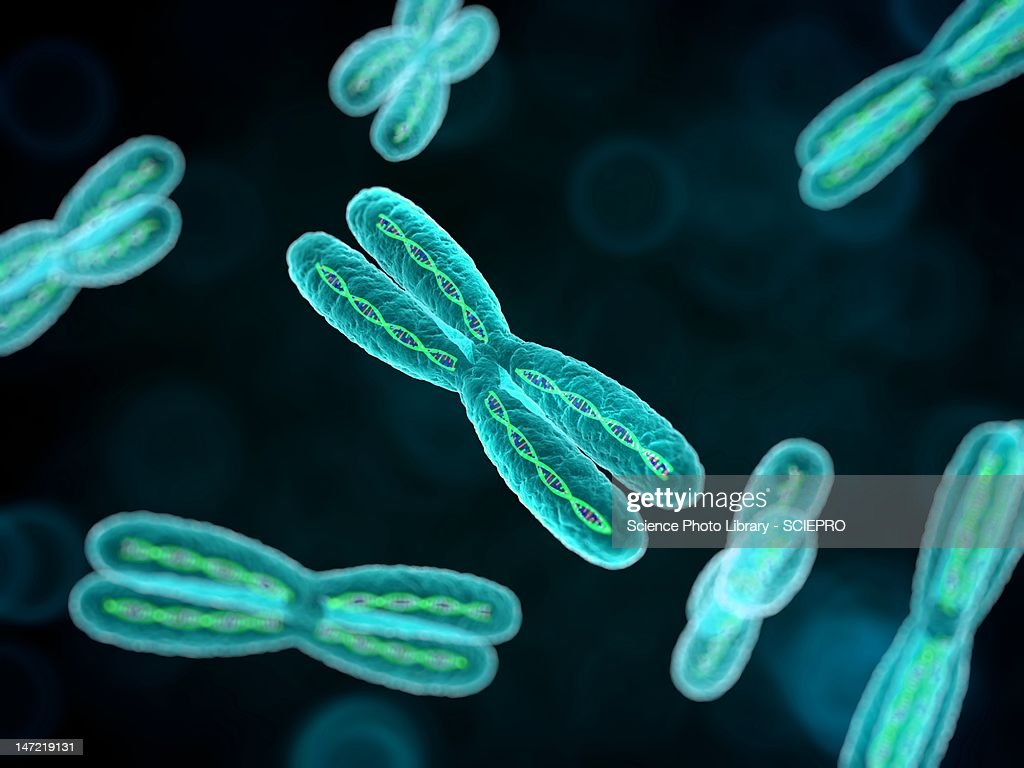 Chromosomes, artwork : stock illustration