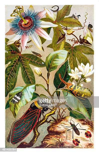 illustrations, cliparts, dessins animés et icônes de cigale et fleurs lithographie 1895 - cigale