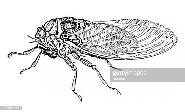 illustrations, cliparts, dessins animés et icônes de cigale (cicada plebeja) - cigale