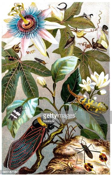 cicada - history stock illustrations