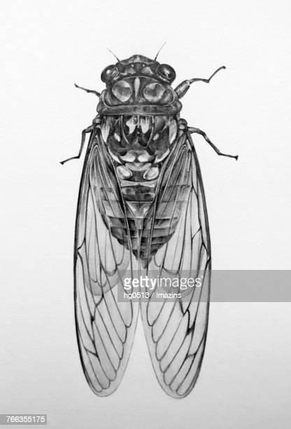 illustrations, cliparts, dessins animés et icônes de cicada pencil drawing - cigale