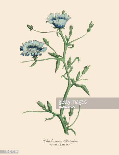 ilustraciones, imágenes clip art, dibujos animados e iconos de stock de cichorium intybus, achicoria plantas, victoriano ilustración botánica - endive