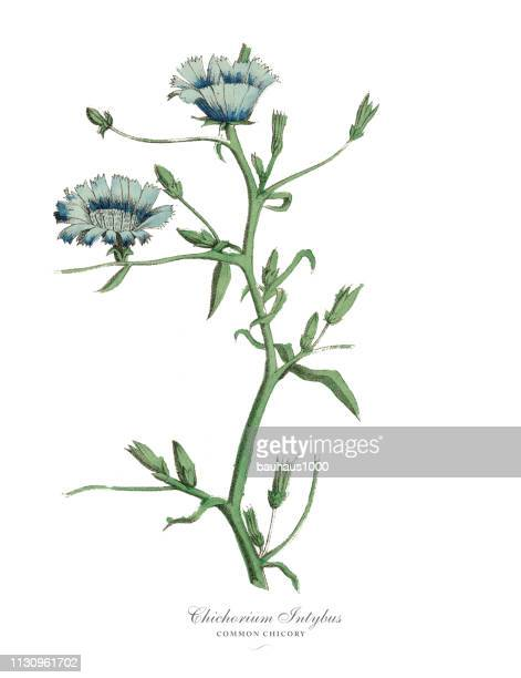 cichorium intybus, chicory plants, victorian botanical illustration - endive stock illustrations, clip art, cartoons, & icons