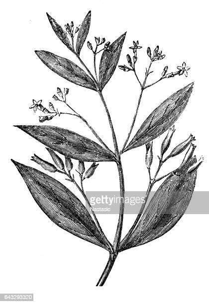 cinchona officinalis (quinine bark tree) - tree bark stock illustrations, clip art, cartoons, & icons