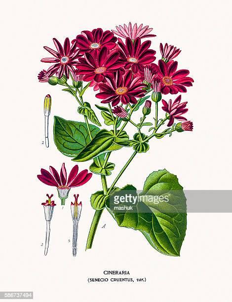 Cineraria or ragwort