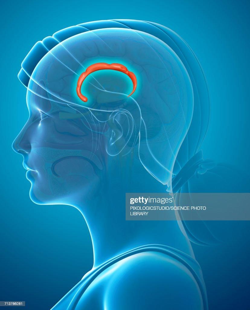 Cingulate Gyrus In The Brain Illustration Stock Illustration | Getty ...