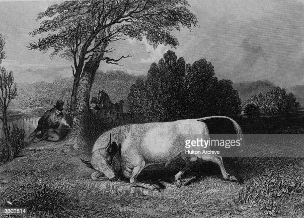 A Chillingham bull being shot in a field