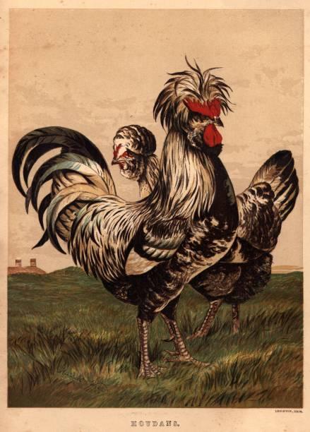 Houdans Cock