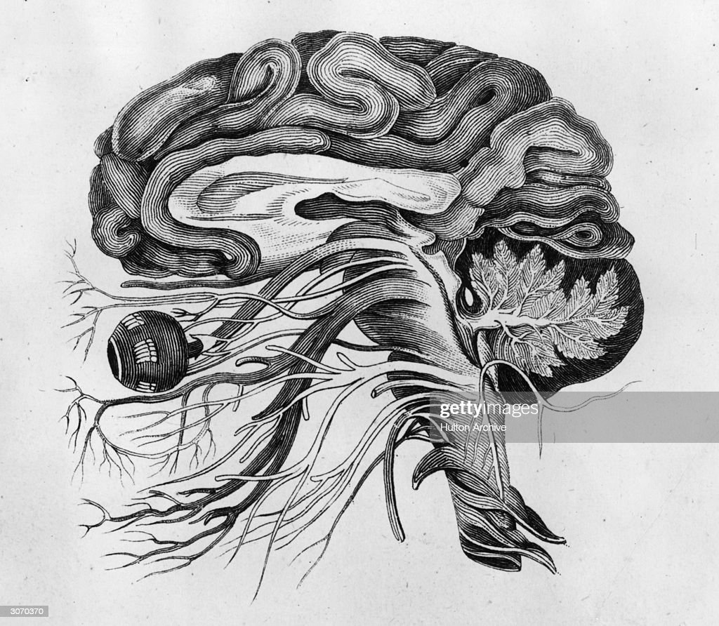 The Human Brain Pictures Getty Images