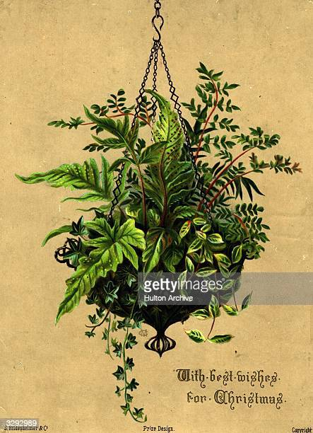 A seasonal hanging basket of ivy and ferns features on this Christmas greetings card S Hildesheimer Company