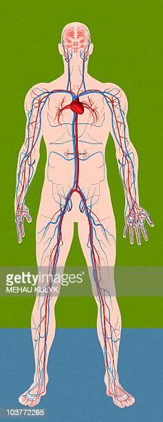 ilustraciones, imágenes clip art, dibujos animados e iconos de stock de circulatory system, artwork - modelos del cuerpo humano