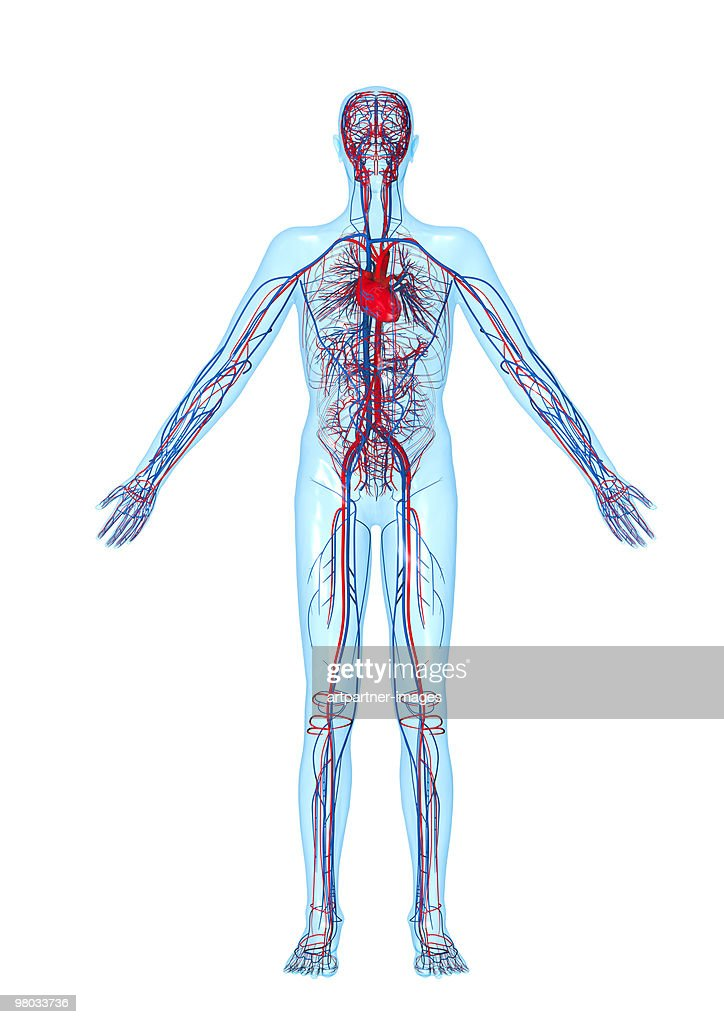 Circulatory System Heart And Blood Vessels Stock Illustration