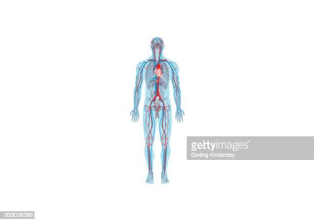 ilustraciones, imágenes clip art, dibujos animados e iconos de stock de circulatory system - sistema circulatorio