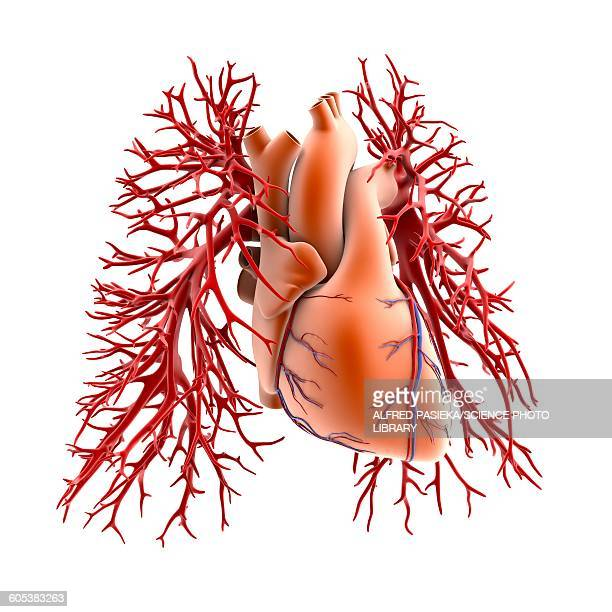 circulatory system of heart and lungs - blood vessel stock illustrations, clip art, cartoons, & icons