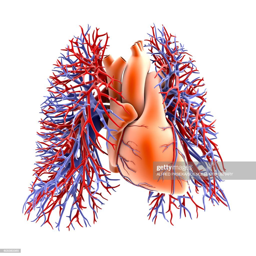 Circulatory System Of Heart And Lungs Stock Illustration Getty Images